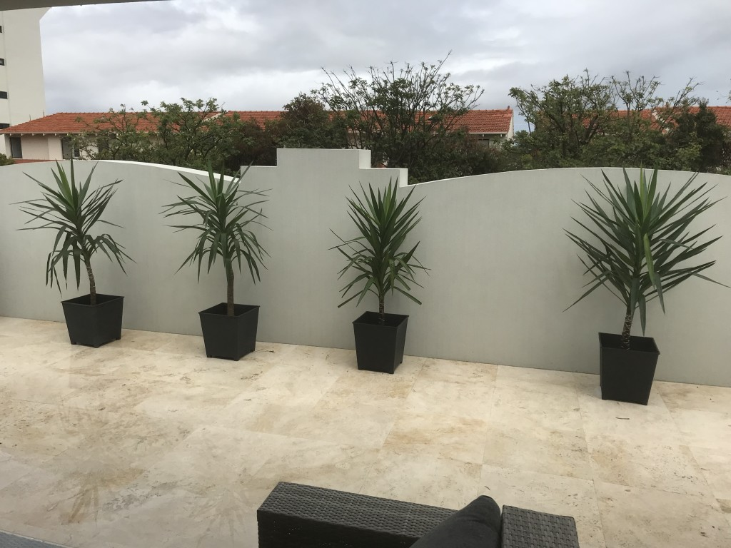 Yucca in Charcoal Pots
