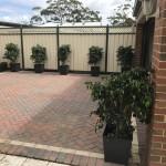 Ficus in Charcoal Pots