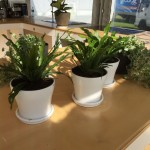 Fern in White Sml Pots