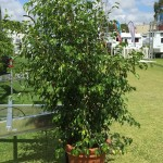 Ficus Trees Large Caravan crop