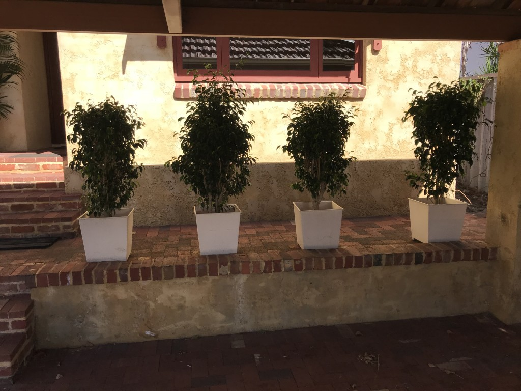 Ficus in White Pots
