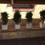 Ficus in White Pots