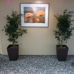 Indoor Ficus Trees