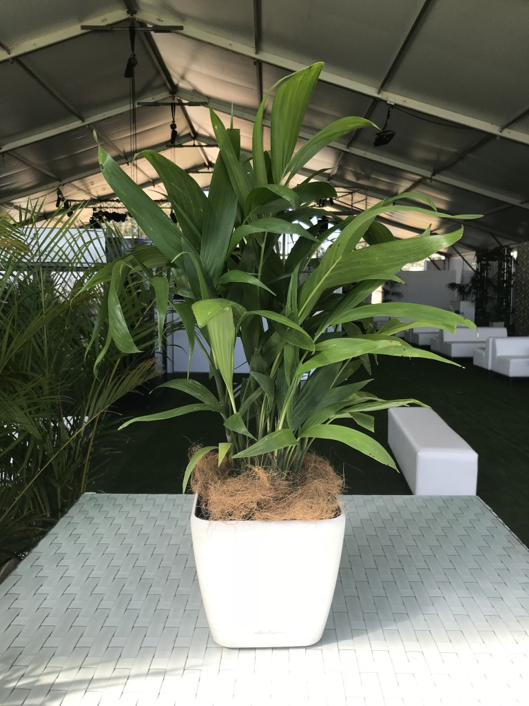 Large Table Plant