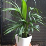 Table plant - Kentia Palm white pot