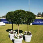 Topiary with white pot covers and underplanting of flowers