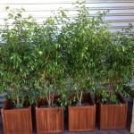 ficus in wooden planters