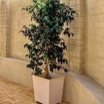 ficus outdoor white pot cropped