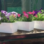 petunia in white pots c