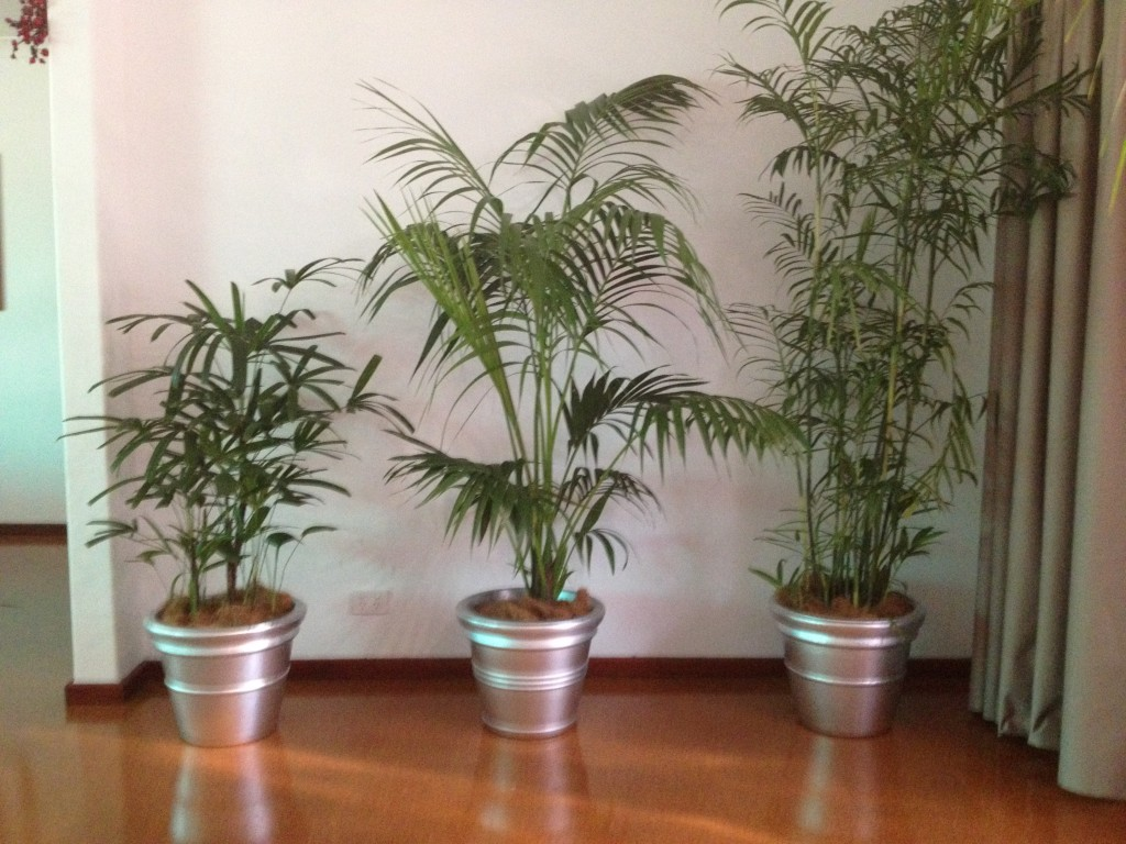 Palms - Rhaphis, Kentia & Bamboo