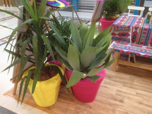 Fiesta Innaloo Yucca Aqave in Pink and Yello Pots (3)