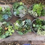 Succulent Low Bowls 30mD