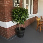 Topiary Ficus BLack Pot