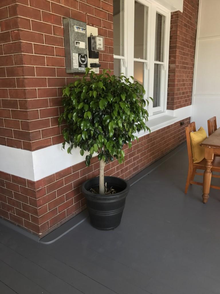 Topiary Ficus BLack Pot