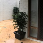 Ficus in Black Pots