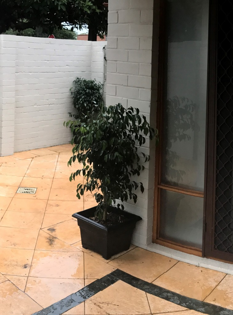Ficus in Black Pots
