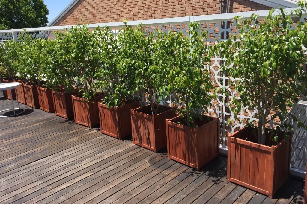 Ficus in Wooden Crates