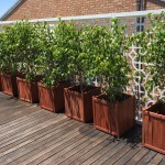 Ficus in Wooden Crates