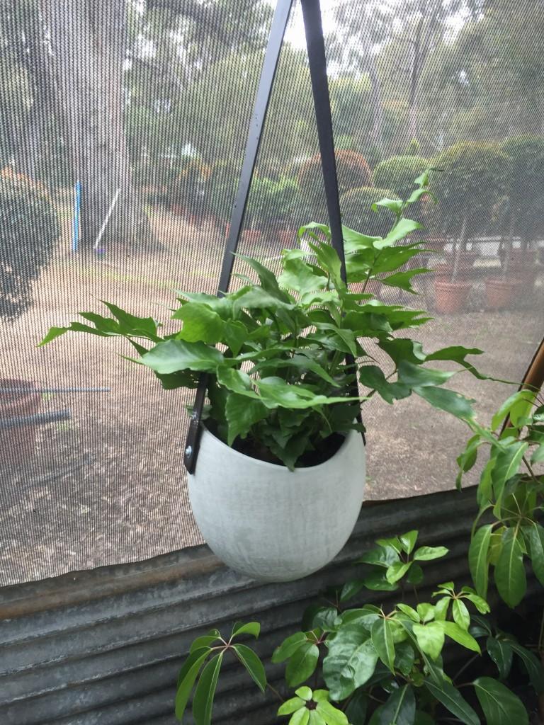 Fern in Sml Grey Ceramic Pot
