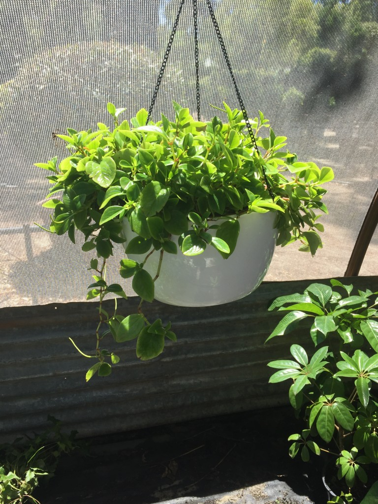 Peperomia Hanging Basket - White