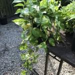 Ivy Hanging Basket