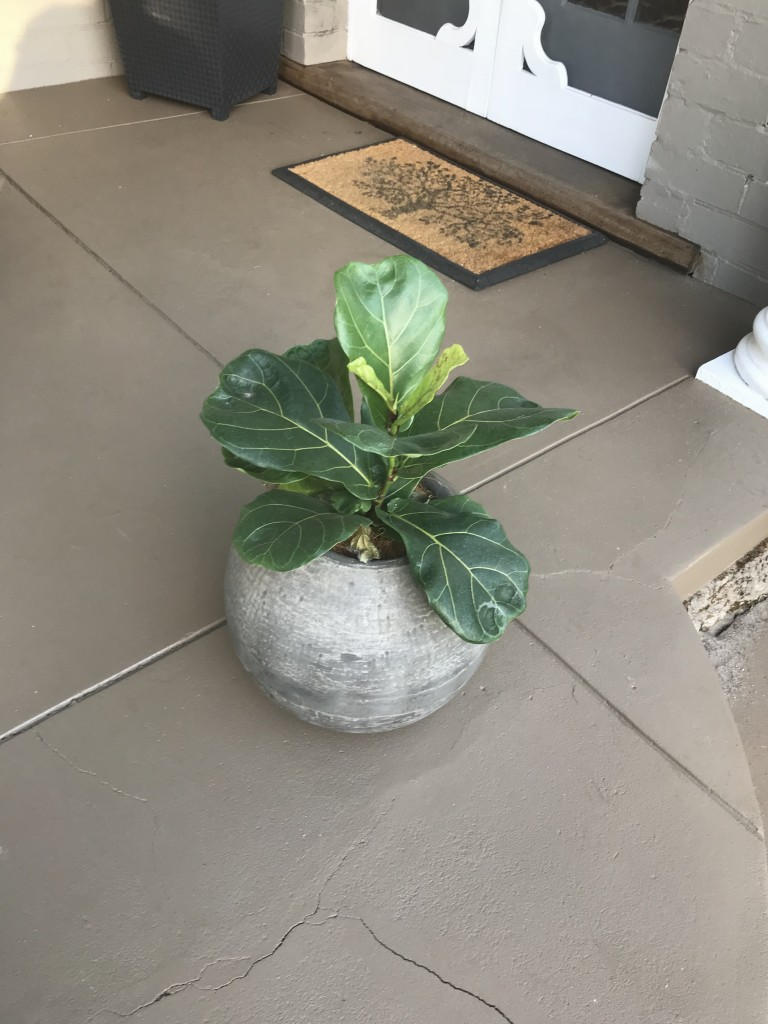 Fiddle Leaf in Pebble Pot
