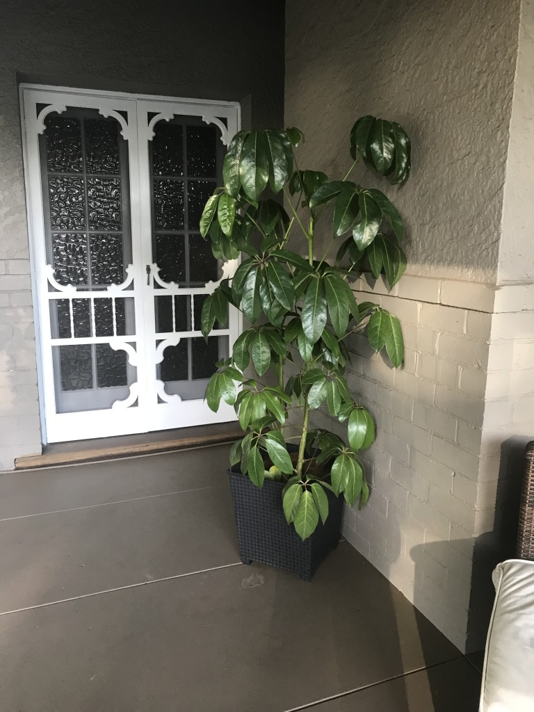 Display Home South Perth Umbrella and Fiddle Leaf Fig (7)