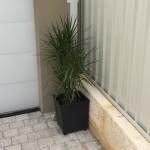 Draceana Margianta Charcoal Pot