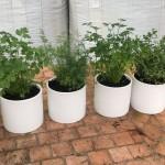 Herbs in White round Pots