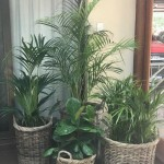 Cane Baskets Indoor Plants